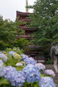 本土寺 五重塔と紫陽花