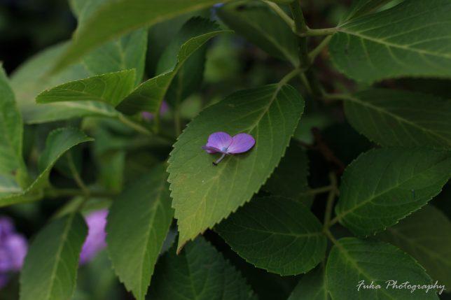 本土寺 紫陽花の花びらと蟻