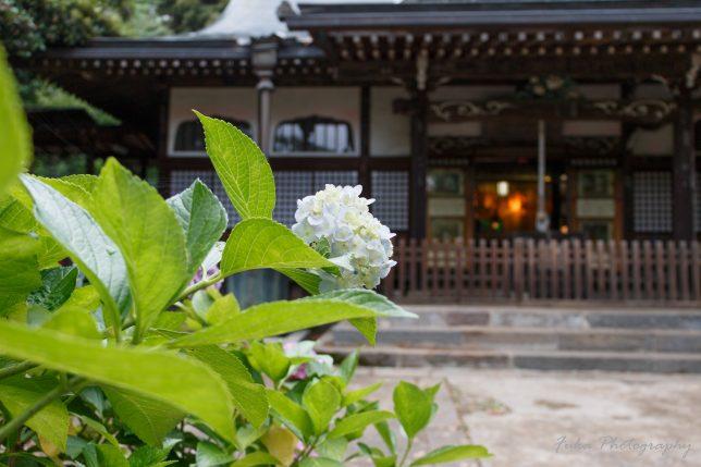 本土寺 像師堂と紫陽花