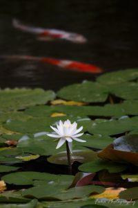 本土寺 弁天池 蓮の花と鯉
