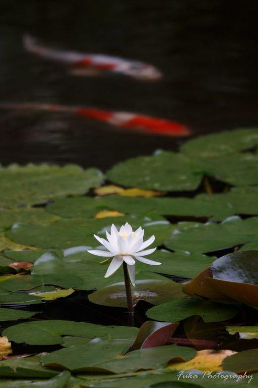本土寺 弁天池 スイレンの花と鯉