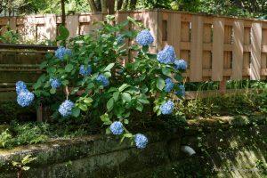鎌倉 紫陽花