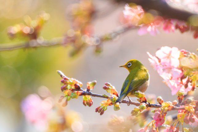 坂川 河津桜とメジロ