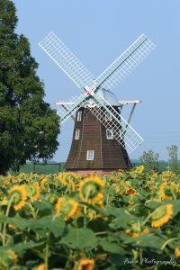 あけぼの山農業公園 風車とひまわり