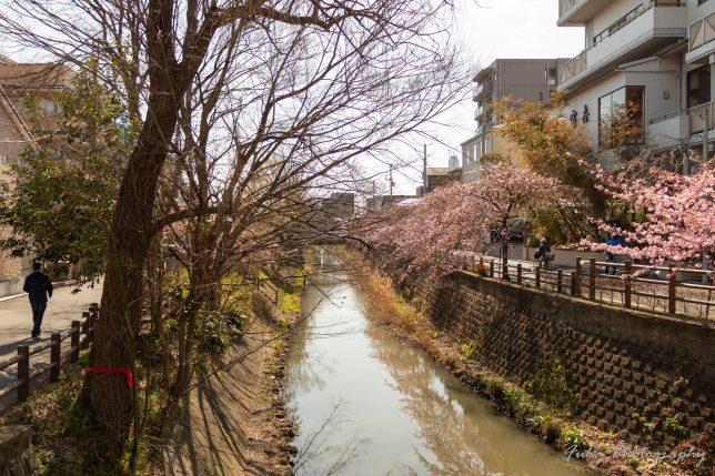 坂川 河津桜