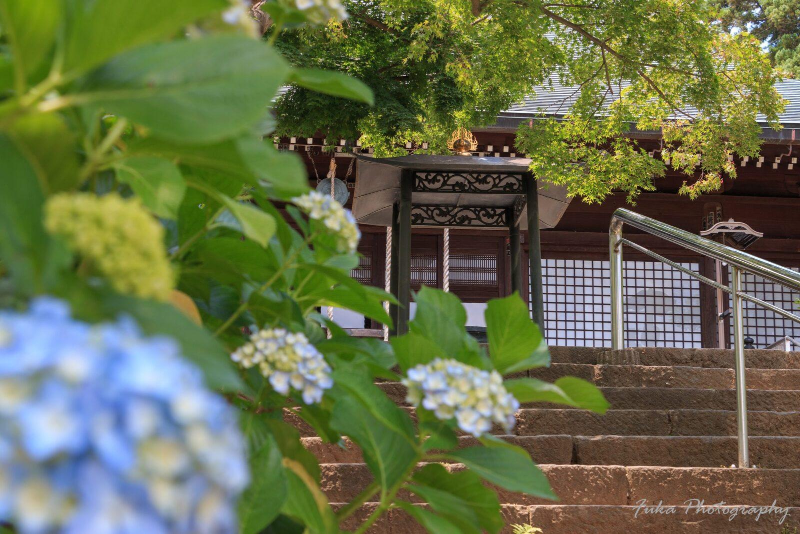 本土寺 本堂と紫陽花