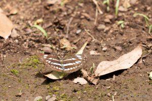 古代蓮の里 蝶