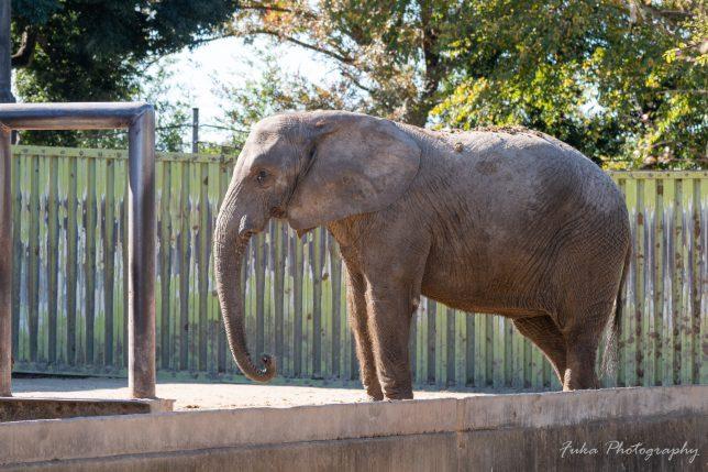 東武動物公園 アフリカゾウ