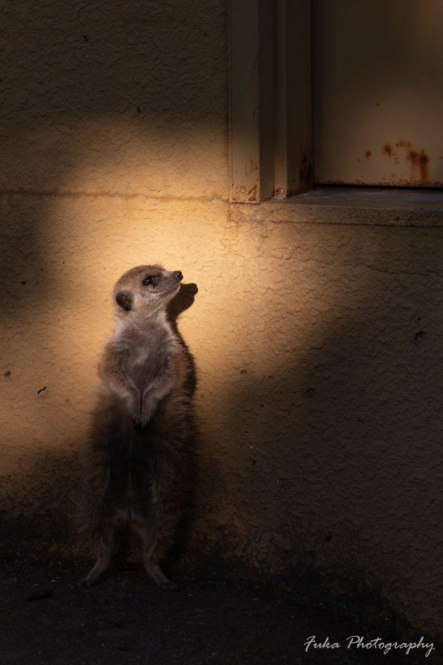 東武動物公園 ミーアキャット