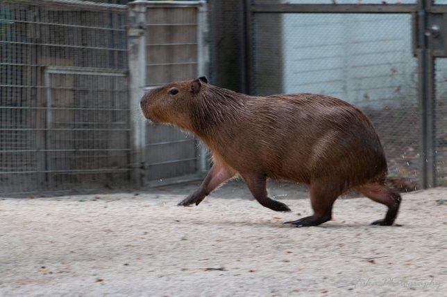 東武動物公園 カピバラ