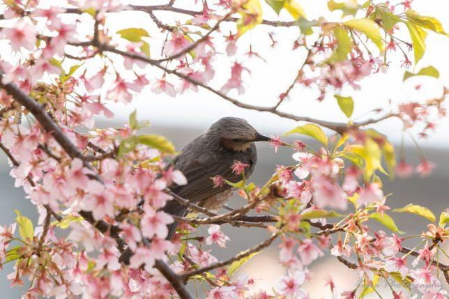 坂川 河津桜とヒヨドリ
