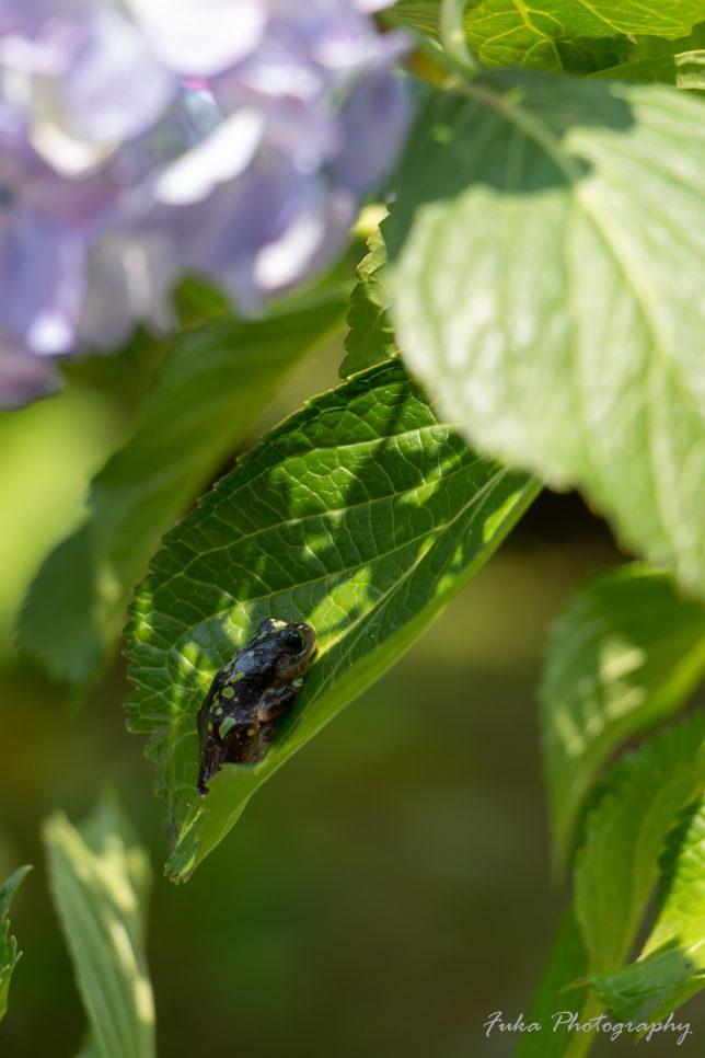 本土寺 紫陽花と蛙
